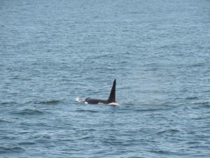Orques près de Friday Harbor